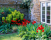 PETTIFERS Garden, OXFORDSHIRE: Front Garden PLANTED with Red TULIPS, Tulipa 'Queen of SHEBA' AND EUPHORBIA CHARACIAS 'Purple AND Gold'