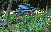 Blue PAINTED BENCH SURROUNDED by Tulipa 'SPRING Green'. ST. MICHAEL'S HOUSE, Kent