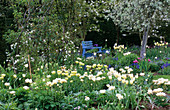 Blue PAINTED BENCH IN White Tulip BORDER at ST. MICHAEL'S HOUSE, Kent: PYRUS SALICIFOLIA PENDULA, Tulipa 'SPRING Green' AND Tulipa 'MOUNT TACOMA'