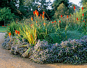 BORDER PLANTED with KNIPHOFIA 'Prince IGOR' AND Salvia OFFICINALIS 'PURPURASCENS'. Designer: Tim MYLES, COTSWOLD Wildlife Park, OXFORDSHIRE