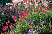 PENSTEMON with Agastache RUGOSA Hybrid, MARCHANTS Hardy PLANTS, Sussex