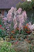 MISCANTHUS 'Kaskade', PHLOMIS TUBEROSA 'AMAZONE' AND HELENIUM 'SEPTEMBERFUCHS'. MARCHANTS Hardy PLANTS, Sussex