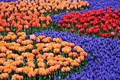 Keukenhof GARDENS, NETHERLANDS: BED with TULIPS 'Orange Princess', 'Hermitage', 'Arma' AND 'PRINSES Irene' with Muscari 'ARMENIACUM. SPRING