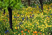 CALIFORNIAN MEADOW PLANTING IN Fetzer Wine'S Garden, CHELSEA 2005. DESIGN Kate FREY