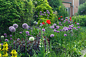 HERBACEOUS BORDER with Lysimachia 'FIRECRACKER', ALLIUM ROSENBACHIANUM, ALLIUM AFLATUNENSE AND PAPAVER ORIENTALE. JANET CROPLEY Garden, HILL GROUNDS, NORTHAMPTONSHIRE.