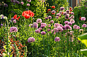 ALLIUM ROSENBACHIANUM AND ORIENTAL POPPIES IN THE HERBACEOUS BORDER. JANET CROPLEY Garden, HILL GROUNDS, NORTHAMPTONSHIRE