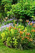 Iris Dutch Bronze, CHRYSANTHEMUM PARTHENIUM AUREUM AND Viola CORNUTA. JANET CROPLEY Garden, HILL GROUNDS, NORTHAMPTONSHIRE.