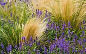 RICKYARD BARN Garden, NORTHAMPTONSHIRE: Wind BLOWN PLANTS IN BORDER: STIPA TENUISSIMA AND Salvia NEMEROSA 'WESUWE'
