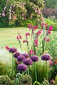 ALLIUM 'FIRMAMENT', GLADIOLUS COMMUNIS BYZANTINUS AND STIPA TENUISSIMA. PETTIFERS Garden, OXFORDSHIRE