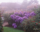 MISTY AUTUMN MORNING at MARCHANTS Hardy PLANTS, Sussex: THE LOWER Part of THE Garden with Aster 'LITTLE CARLOW' IN FULL FLOWER