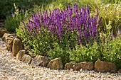 RICKYARD BARN Garden, NORTHAMPTONSHIRE: GRAVEL Garden with Salvia NEMOROSA WESUWE