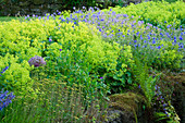 VEDDW HOUSE Garden, GWENT, Wales: DESIGNERS ANNE WAREHAM AND CHARLES HAWES - Bank of ALCHEMILLA MOLLIS AND GERANIUM JOHNSONS Blue