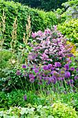 HUNMANBY Grange, Yorkshire: ALLIUM Purple Sensation AND SYRINGA 'Katherina Havemeyer'