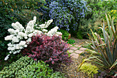 HUNMANBY Grange, Yorkshire: GRAVEL AND PAVED AREA with BERBERIS 'Darts Red Lady', OLEARIA SCILLONIENSIS, Ceanothus thyrsiflorus repens, PHORMIUM