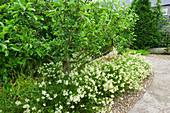 HUNMANBY Grange, Yorkshire: FRUIT TREES UNDERPLANTED with LUZULA Nivea