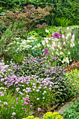HUNMANBY Grange, Yorkshire: HERBACEOUS BORDER with CHIVES (ALLIUM SCHOENOPRASUM), Purple SAGE, Sea KALE (CRAMBE MARITIMA) with CERCIS CANADENSIS 'FOREST PANSY' IN BACKGROUND