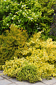 HUNMANBY Grange, Yorkshire: FOLIAGE BORDER: HEBE, EUONYMUS 'Emerald N Gold', Physocarpus opulifolius 'Dart's Gold' AND Golden PRIVET