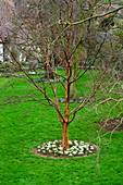 WOODPECKERS, WARWICKSHIRE, Winter: Acer GRISEUM IN LAWN with GALANTHUS SANDERSII GP AROUND ITS Base