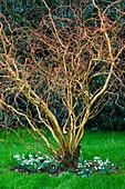 WOODPECKERS, WARWICKSHIRE, Winter: TWISTED BRANCHES of Salix ERYTHROFLEXUOSA
