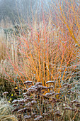 WOODPECKERS, WARWICKSHIRE, Winter: FROSTED BORDER with SEDUM AND CORNUS Winter FLAME