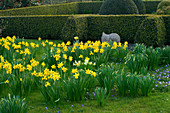 DAFFODILS Beside THE Parterre with SCULPTURE by BRIONY LAWSON. PETTIFERS Garden, OXFORDSHIRE. SPRING