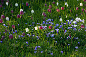 Anemone BLANDA AND Fritillaria MELEAGRIS (SNAKES HEAD FRITILLARY) GROWING IN THE MEADOW at PETTIFERS Garden, OXFORDSHIRE