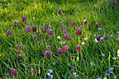 PETTIFERS Garden, OXFORDSHIRE: THE MEADOW with Fritillaria MELEAGRIS (SNAKES HEAD FRITILLARY) SPRING