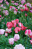PASHLEY MANOR, EAST Sussex: Parrot Tulipa AND Viridiflora Tulipa 'GREENLAND' IN SPRING