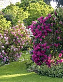 WARDINGTON MANOR Garden, OXFORDSHIRE: GRASS PATH PAST Rhododendron AND AZALEA IN SPRING. EVENING Light