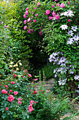 Amelia HEATH Garden, 1, CROSS VILLAS, SHROPSHIRE: PATH Beside THE BACK of THE HOUSE with CLEMATIS NELLY MOSER, ROSE ZEPHERIN DROUHIN, ROSE Berkshire