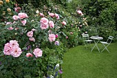 Amelia HEATH Garden, 1, CROSS VILLAS, SHROPSHIRE: THE SECRET GARDEN. A PLACE TO SIT - WOODEN TABLE AND CHAIRS On LAWN SURROUNDED by Rosa 'Natalie NYPELS'