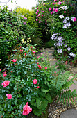 Amelia HEATH Garden, 1, CROSS VILLAS, SHROPSHIRE: Side ALLEY with GRAVEL PATH SURROUNDED by CLEMATIS NELLY MOSER, ROSE ZEPHERIN DROUHIN, ROSE Berkshire