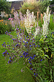 THE Old RECTORY, MIXBURY, NORTHANTS. Designer: Angel Collins: BORDERS Beside A BARN with ANCHUSA LODDON ROYALIST AND White Salvia