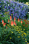 THE Old RECTORY, HASELBECH, NORTHANTS. PLANTING of Achillea, KNIPHOFIA, HELENIUM 'MOERHEIM BEAUTY' AND CLEMATIS Perle D'AZUR