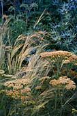 PETTIFERS, OXFORDSHIRE: PLANT COMBINATION of Achillea TERRACOTTA, STIPA TENUISSIMA AND ERYNGIUM 'PICOS Blue'