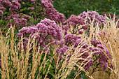 Lady Farm, Somerset: Designer, JUDY PEARCE - CLOSE UP of FLOWERS of EUPATORIUM PURPUREUM AND CALAMAGROSTIS Karl FOERSTER