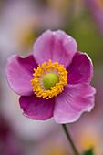 Lady Farm, Somerset: Designer, JUDY PEARCE - Pink FLOWER of Anemone HUPEHENSIS HADSPEN ABUNDANCE