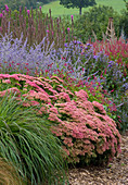 Lady Farm, Somerset: Designer, JUDY PEARCE - New PERENNIAL BORDER with SEDUM AUTUMN JOY, PERSICARIA INVERLEITH, PEROVSKIA Blue SPIRE, Aster PERCY Thrower, LYTHRUM FIRE CANDLE