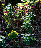 CERNEY HOUSE, Gloucestershire: SNOWDROPS, HELLEBORUS AND ACONITES by THE HOUSE IN THE WOODLAND