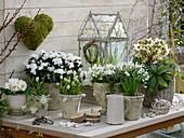 Grün-weiße Frühlingsgestaltung : Rhododendron simsii (Zimmerazalee)