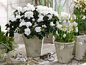 Rhododendron simsii (Zimmerazalee), Muscari 'Album' (Traubenhyazinthen)