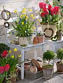Bunte Frühlingsterrasse : Tulipa 'Couleur Cardinal' (Tulpen), Narcissus