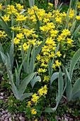 Sedum floriferum 'Weihenstephaner Gold' (Fetthenne), Iris barbata 'Nana' (Zwerg - Bartiris)