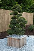 Ilex crenata (Japanische Hülse) als Bonsai - Formschnitt in Holz - Kübel, Natursteine als Mulch