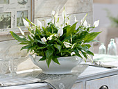 Mini - Spathiphyllum 'Chopin' (Einblatt, Blattfahne) in weißer Terrine