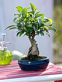 Ficus retusa (Chinesischer Feigenbaum), 8 Jahre alt