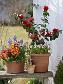 Camellia rusticana 'Kirin-No-Homare' (Kamelie) ,Primula Inara 'Red Bicolor'