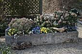 von links : Skimmia japonica 'Magic Marlot' 'Fragrant Cloud' 'Rubella'