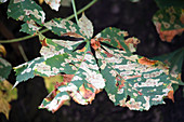 Aesculus hippocastanum (Kastanienblatt) mit Miniermotte