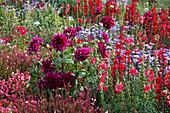 Dahlia 'Thomas A. Edison' (lila Schmuckdahlie), Gaura (Prachtkerze), Antirrhinum (Löwenmäulchen), Lobelia speciosa (Pracht-Lobelia), Begonia semperflorens (Eisbegonien)
